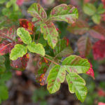 photo of poison oak