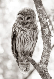 Barred owl captured with a tripod