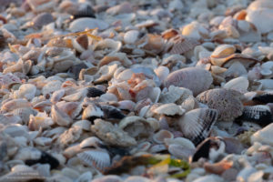 Shells on Sanibel Island, Florida.