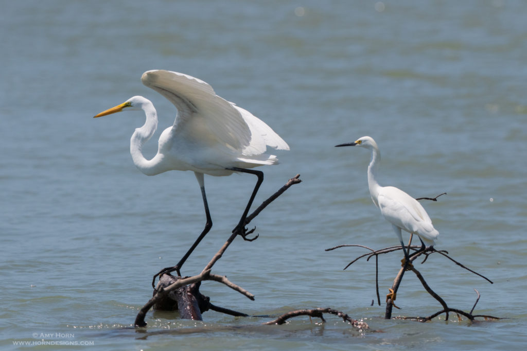 Great Egrets captured from a moving boat in Florida.