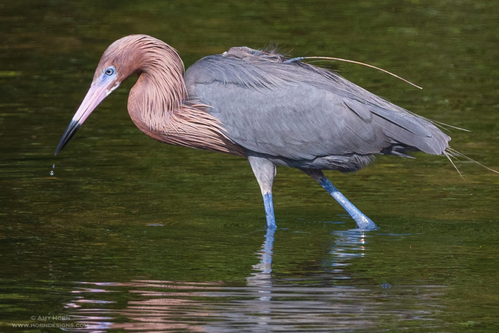 Reddish Egret in Florida