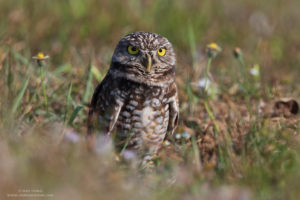 Photo of burrowing owl, by Amy Horn taken with a tripod