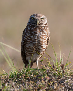 burrowing owl image captured with a tripod in Florida