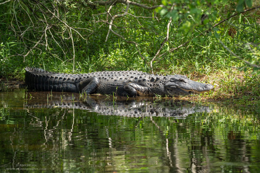 alligator resting at picnic pullout spot, Florida