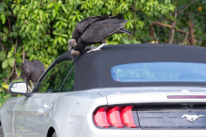 Turkey vultures in Florida