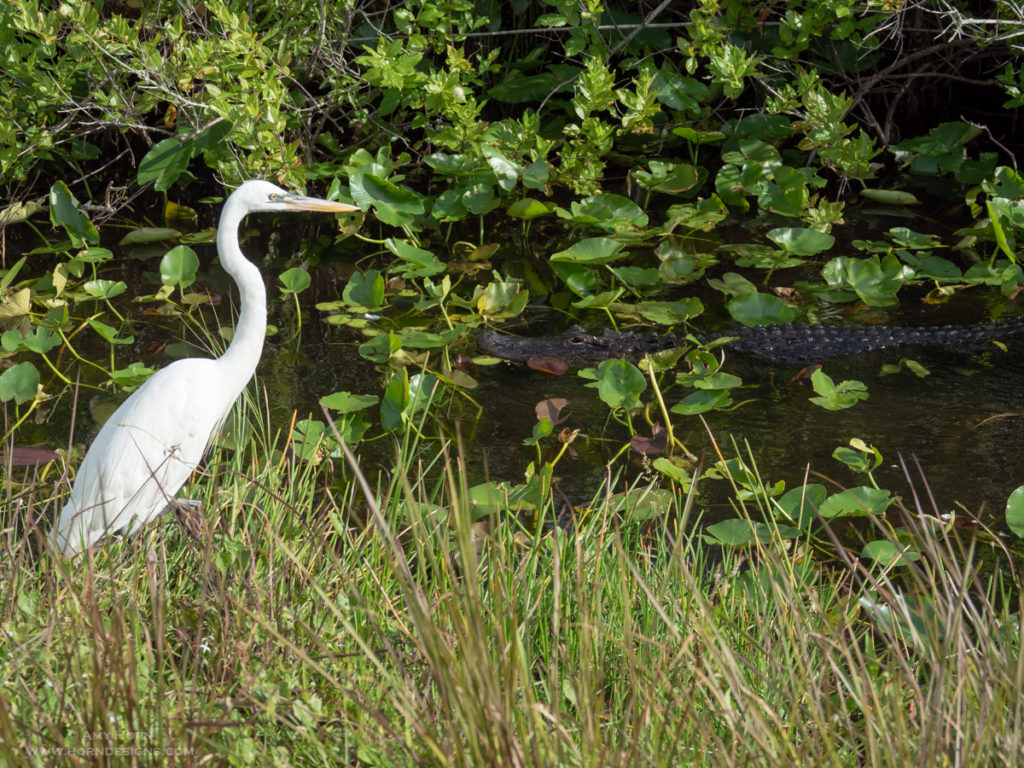 Great egret and alligator in Florida