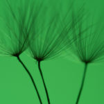 Dandelion with green background